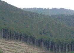 木曽谷 天然木曽ヒノキ林